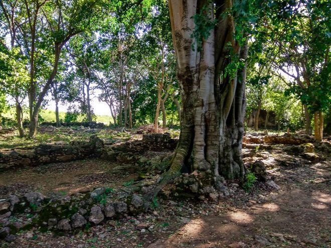Ένα δέντρο caiba δίπλα στα ερείπια των κοιτώνων των σκλάβων, σε μία χασιέντα στο Τρινιδάδ