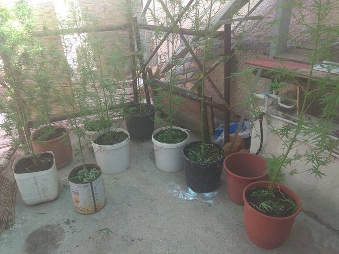 Συνελήφθησαν από αστυνομικούς του Τμήματος Ασφαλείας Αιγάλεω, δύο Έλληνες για καλλιέργεια δενδρυλλίων κάνναβης.