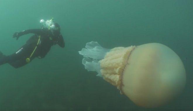 Βίντεο: Γαλάζια μέδουσα - γίγας εντοπίστηκε στην Κορνουάλη
