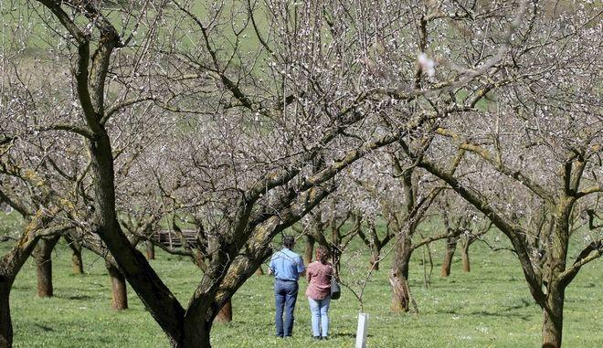 Ζευγάρι κοιτάει τα ανθισμένα δέντρα κάπου στην Αυστρία