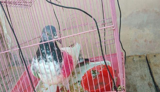 Το περιστέρι που κατηγορείται για κατασκοπεία κρατείται σε κλουβί στην Ινδία και είναι καλά