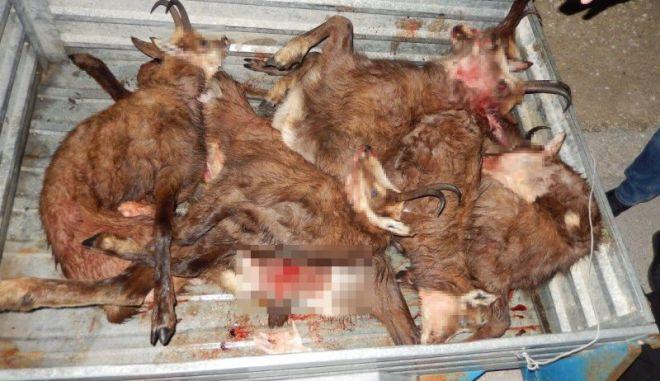 Ζαγόρι: Λαθροκυνηγοί σκότωσαν έξι αγριόγιδα που ανήκουν σε προστατευόμενο είδος αντιλόπης