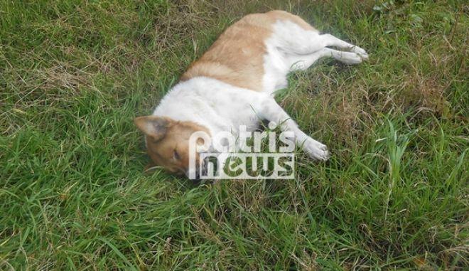 Απανθρωπιά: Μαζική θανάτωση σκύλων με φόλες στην Αμαλιάδα