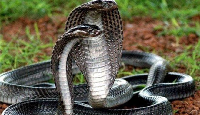 Ινδία: Σκότωσε τη σύζυγό του με δύο φίδια