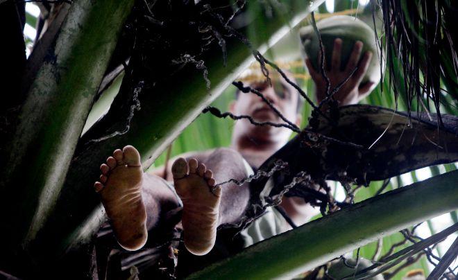 Σε αυτή τη φωτογραφία, ο Yoandri Hernandez Garrido, κόβει καρύδες από φοίνικα στο Baracoa, επαρχία Guantanamo, Κούβα