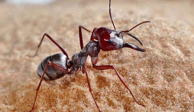 Το ταχύτερο μυρμήγκι στον κόσμο