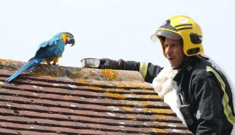 Περιπετειώδης διάσωση παπαγάλου με.... βρισίδι στους Πυροσβέστες