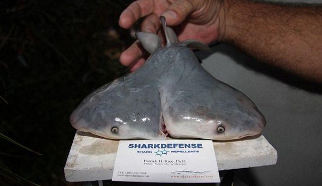 Ψαράς ανακάλυψε δικέφαλο καρχαρία