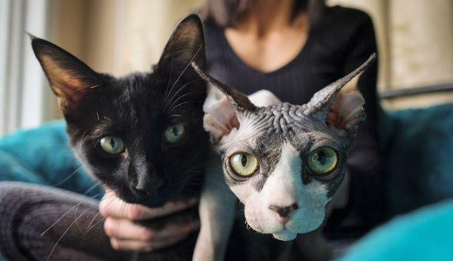 Ξυρίζουν γάτες και τις πουλάνε ως Sphynx