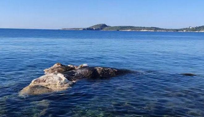 Νεκρή φάλαινα ξεβράστηκε στην Μαραθόπολη