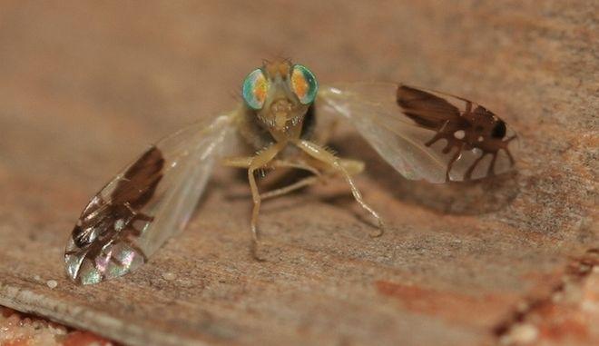 Η μύγα των φρούτων, που εξελίχθηκε και έχει μυρμήγκια στα φτερά της