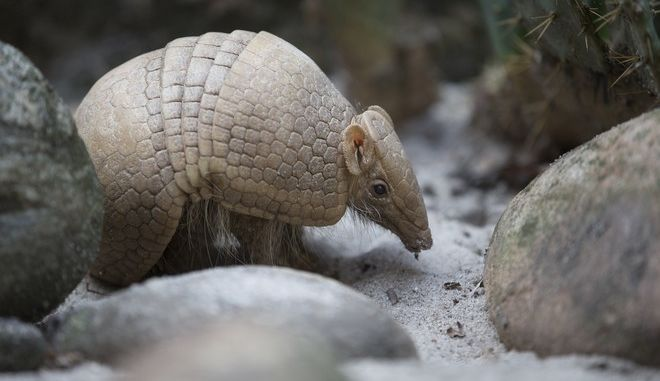 """FILE - In this May 21, 2014, file photo, an armadillo named Ana Botafogo in honor of a Brazilian dancer stands in the Rio Zoo in Rio de Janeiro, Brazil. FIFA says it could not reach a financial agreement with a wildlife conservation group trying to save an endangered armadillo chosen as the World Cup mascot. The armadillo was chosen as the World Cup mascot, which was named """"Fuleco""""  a combination of the Portuguese words for football and ecology. (AP Photo/Silvia Izquierdo,File)"""