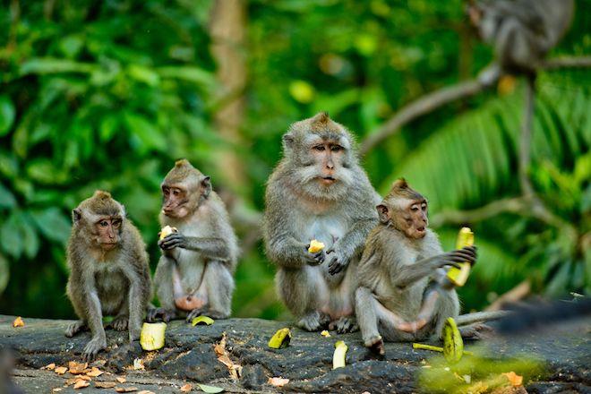 Οι μακάκοι - ληστές του Μπαλί ξέρουν να εντοπίζουν αντικείμενα υψηλής αξίας