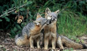 Κλείνουν τα εκτροφεία αλεπούς στη Νορβηγία για γούνες