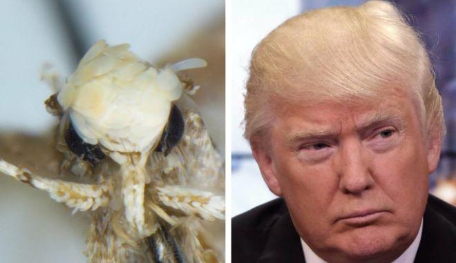 Σκόρος ονόματι Ντόναλντ Τραμπ λόγω... μαλλιών!
