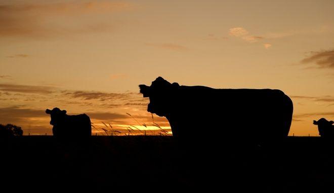 Αγελάδες στο δειλινό