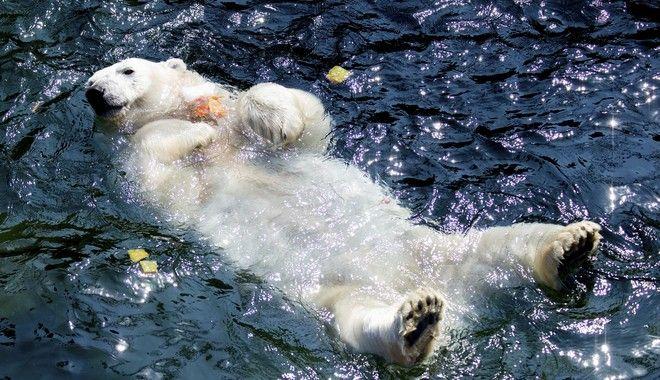 Πολική αρκούδα δροσίζεται μέσα σε λίμνη ζωολογικού κήπου λόγω του καύσωνα στη Γερμανία