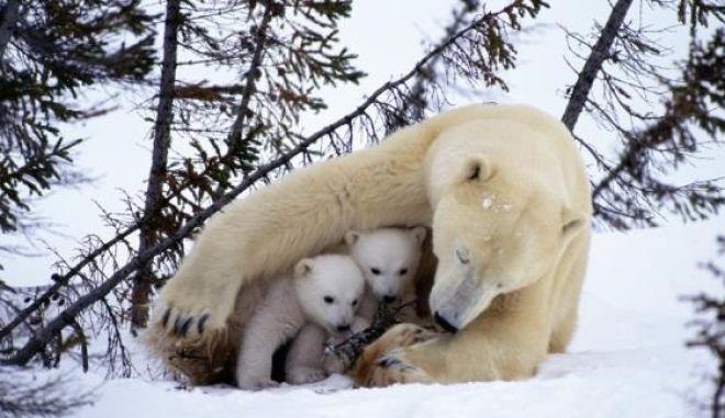 Το πολικό ψύχος στις Η.Π.Α ανάγκασε ακόμα και μια πολική αρκούδα να επιστρέψει στη φωλιά της
