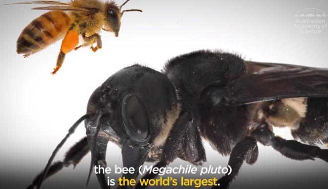 """Επανεμφανίστηκε η """"μέλισσα-τέρας"""", η μεγαλύτερη του πλανήτη"""