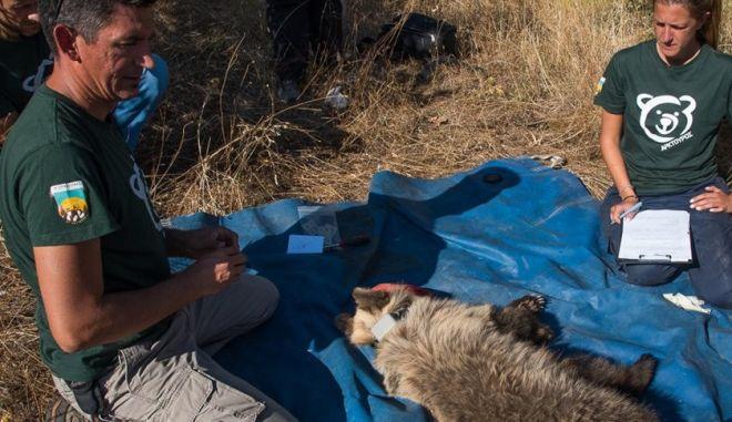 Έσωσαν αρκουδάκι 10 μηνών που πιάστηκε σε παράνομη παγίδα