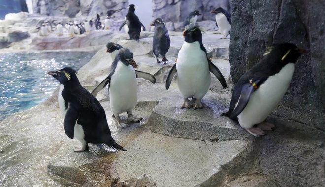 Penguins are photographed in the Detroit Zoo's new Polk Penguin Conservation Center, Wednesday, April 13, 2016, in Royal Oak, Mich. A preview Wednesday showed off the $30 million center, which features an underwater gallery and two tunnels where visitors can watch four species of penguins swim above, around and below them. It opens to the public Monday. (AP Photo/Carlos Osorio)