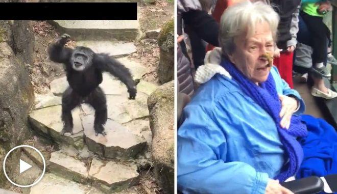 Η εκδίκηση του χιμπατζή: Πέταξε περιττώματα στο πρόσωπο ηλικιωμένης