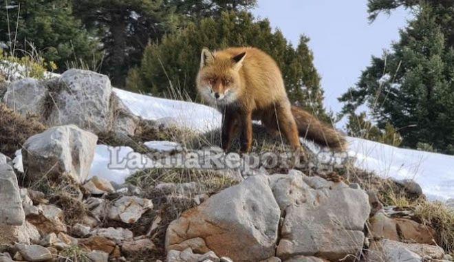 Παρνασσός: Αλεπού μοντέλο ποζάρει στο φακό