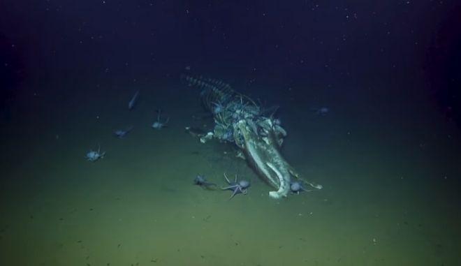 Ανατριχιαστικά πλάνα από τον βυθό: Χταπόδια και ψάρια τρώνε τα απομεινάρια φάλαινας