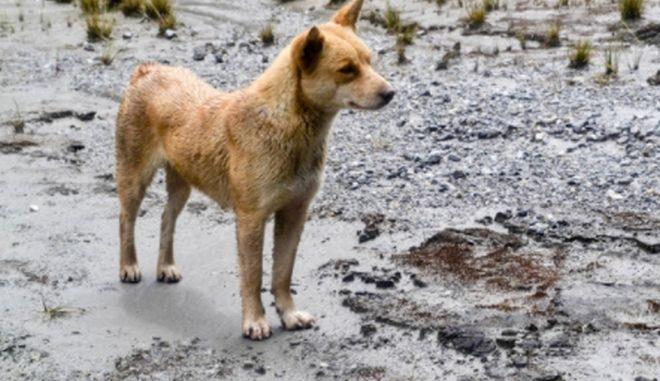 Εντοπίστηκε ομάδα σκύλων της Νέας Γουινέας