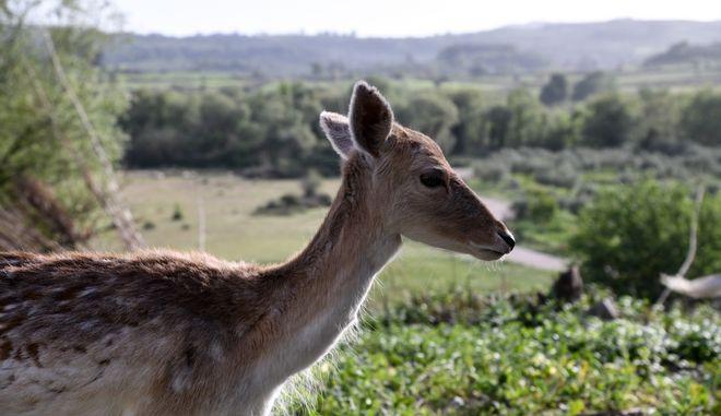 Ελάφι σε βοσκή στην ορεινή Ηλεία