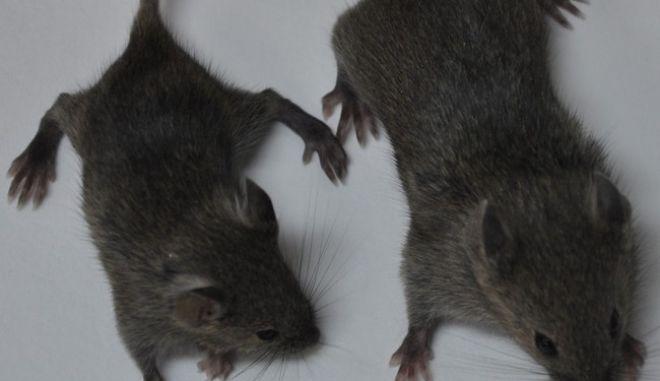 Χάος στο Κοινοβούλιο στη Βραζιλία από την εισβολή ποντικιών