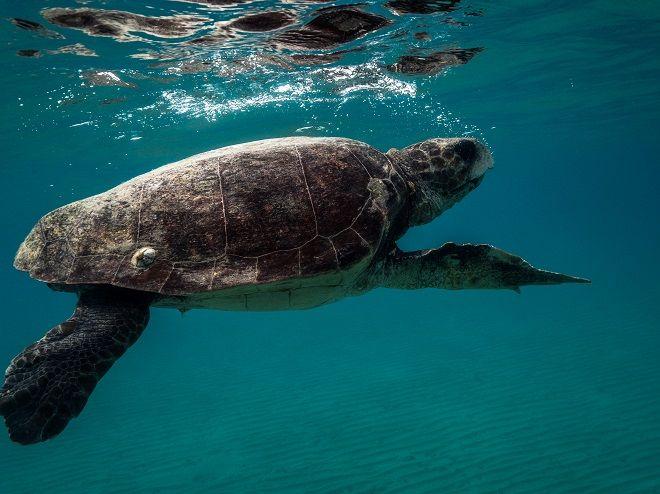 Χελώνα Caretta Caretta