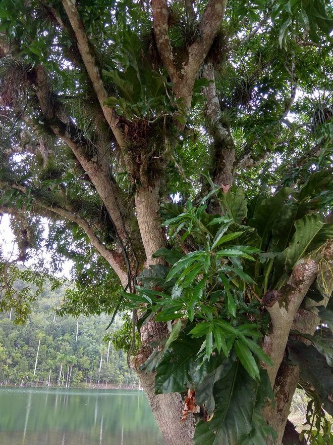 Πάνω σε ένα δέντρο, φυτρώνει ένα παρασιτικό φυτό και πάνω του ένα δεύτερο, στη ζούγκλα της Κούβας
