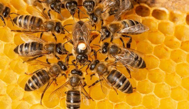 Μέλισσες (φωτογραφία αρχείου)