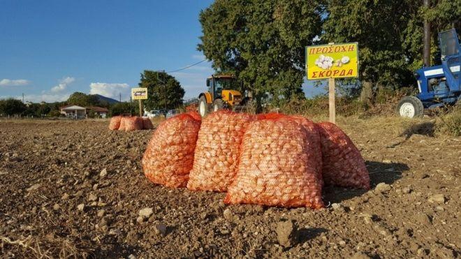 Το σκόρδο δίνει ζωή στα χωριά της Κοζάνης