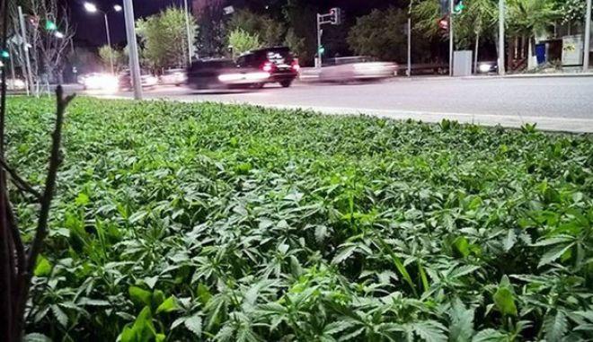 Επική γκάφα: Δήμαρχος αποφάσισε να διακοσμήσει τις πλατείες με φυτά, μόνο που δεν κατάλαβε ότι γέμισε τη πόλη με μαριχουάνα!