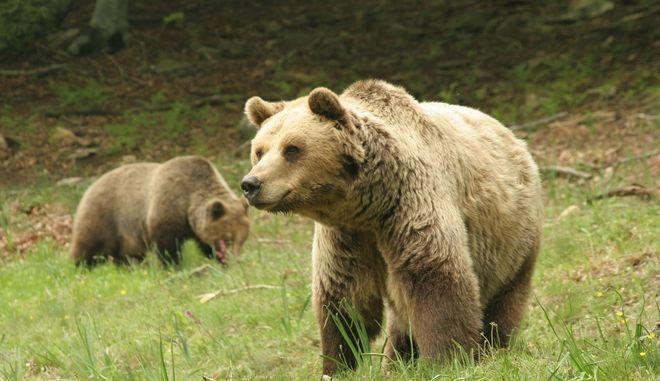 """Έφυγε από τη ζωή πριν από λίγες ημέρες από φυσιολογικά αίτια η γηραιότερη αρκούδα του Καταφυγίου, ο Μήτσος. Οι φροντιστές του ΑΡΚΤΟΥΡΟΥ έχοντας παρατηρήσει ότι τελευταία δεν εμφανιζόταν τον αναζήτησαν στο χώρο του και τελικά τον εντόπισαν να κείτεται μέσα σε φυσική φωλιά στο Καταφύγιο, όπου και επέλεξε, όπως φαίνεται, να πεθάνει. Ο Μήτσος """"έφυγε"""" σε βαθιά γεράματα σε ηλικία 29 ετών περίπου (οι αρκούδες στη φύση ζουν 20 περίπου χρόνια). Ήταν μία από τις πρώτες αρκούδες που εντάχθηκαν στον Κτηνιατρικό Σταθμό του ΑΡΚΤΟΥΡΟΥ αρχικά και μετάπτεια στο Καταφύγιο. Έως τότε είχε μία αρκετά περιπετειώδη ζωή. Ο Μήτσος ήταν αρκούδα """"χορεύτρια"""" και ζούσε στην Τρίπολη. Αρχικά κατασχέθηκε από τον αρκουδιάρη αλλά, καθώς δεν υπήρχε τότε κατάλληλος χώρος για φιλοξενία, του επεστράφη με την προϋπόθεση να μην τον εκμεταλλεύεται με σκοπό το κέρδος. Έπειτα όμως από καταγγελίες πολιτών που τον είδαν να χρησιμοποιείται και πάλι ως θέαμα, κατασχέθηκε οριστικά το 1992 σε ηλικία 3 ετών περίπου. Μεταφέρθηκε στο ζωολογικό κήπο της Φλώρινας. Από εκεί προσπάθησε πολλές φορές να αποδράσει γι' αυτό και του αποδόθηκε το παρατσούκλι """"δραπέτης"""". Ήταν μάλιστα ιδιαίτερα... συνεργάσιμος με τους ανθρώπους του Ζωολογικού και έπειτα από κάθε απόπειρα απόδρασης επέστρεφε στο χώρο του έπειτα από τις υποδείξεις τους. Τελικά το 1993 μεταφέρθηκε στον Κτηνιατρικό Σταθμό του Περιβαλλοντικού Κέντρου όπου και υποβλήθηκε σε οδοντιατρικές επεμβάσεις. Όπως άλλωστε στις περισσότερες αρκούδες """"χορεύτριες"""", οι κυνόδοντές του ήταν σε κακή κατάσταση εξαιτίας της διατροφής του και των συνθηκών διαβίωσής του σε συνθήκες αιχμαλωσίας. Ο Μήτσος ήταν μία εντυπωσιακή σε μέγεθος αρκούδα. Το βάρος του κατά περιόδους έφτανε τα 250 κιλά! Παρ' όλα αυτά ήταν πολύ ήρεμος και στην καθημερινή συμβίωσή του με τις υπόλοιπες αρκούδες δεν υπήρχαν προβλήματα.  (EUROKINISSI/ΑΡΚΤΟΥΡΟΣ)"""
