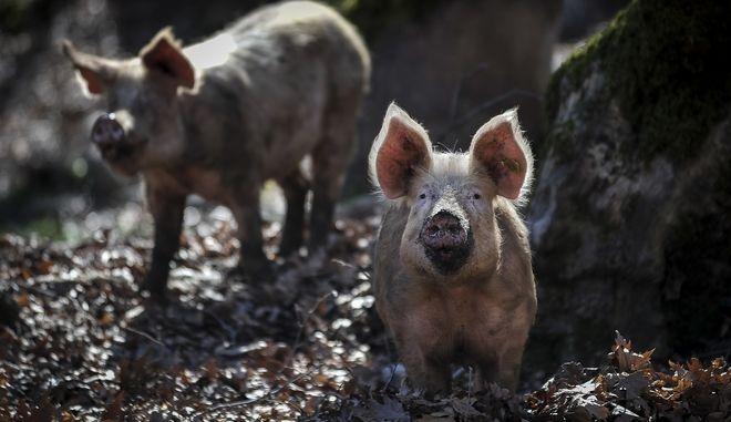 Γουρούνια ελευθέρας βοσκής