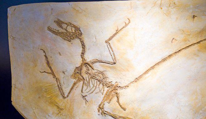 Microraptor gui fossil, Early Cretaceous.