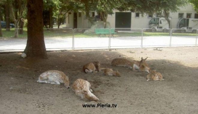 Νεκρά ελάφια στον Δημοτικό Κήπο Κατερίνης