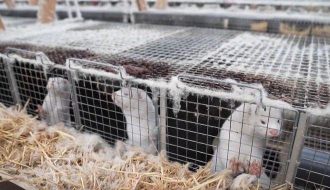 Κορονοϊός-Καστοριά: Θετικοί ακόμη δύο εργαζόμενοι σε φάρμα βιζόν