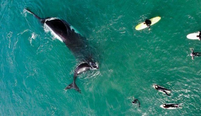 Μεγάπτερες φάλαινες στην Αυστραλία.