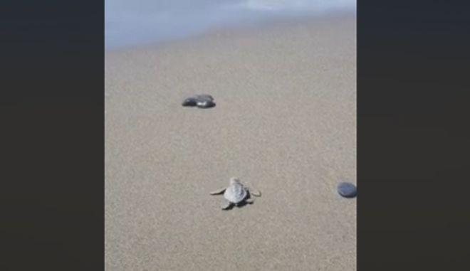 Το θαύμα της φύσης: Δείτε τα χελωνάκια να βουτάνε πρώτη φορά στη θάλασσα στο Λασίθι