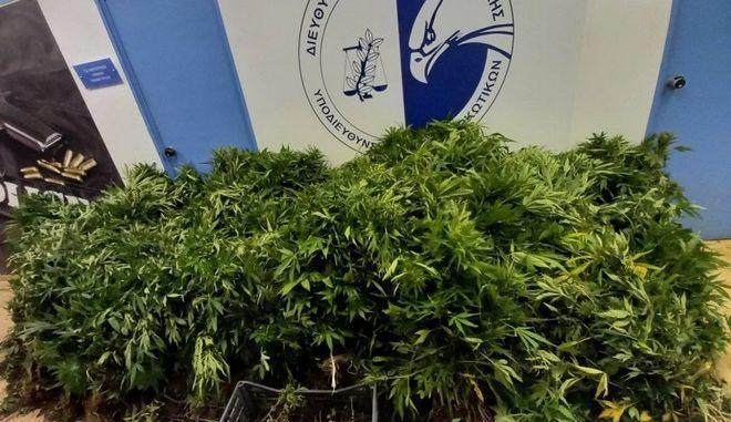 Κάλαμος: Εντοπίστηκε χασισοφυτεία - Εξαρθρώθηκε κύκλωμα ναρκωτικών