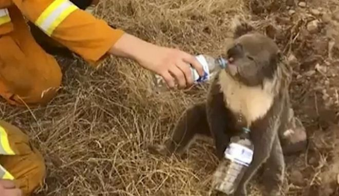 Νέα Ζηλανδία: Υπογραφές για να σωθούν τα απειλούμενα κοάλα από τις φωτιές στην Αυστραλία