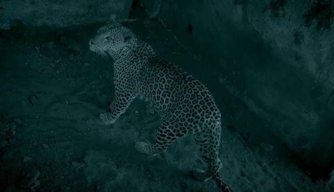Λεοπάρδαλη βρίσκει νεογέννητο αγριόχοιρο: Ένα εύκολο γεύμα... ή μήπως όχι;