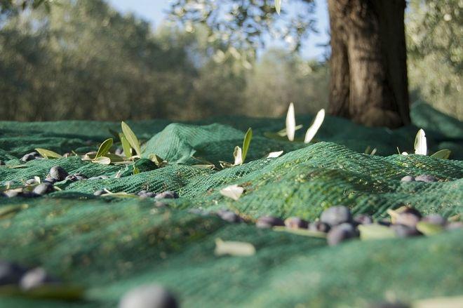 Τι πρέπει να γνωρίζουν οι ελαιοπαραγωγοί για το μάζεμα των ελιών