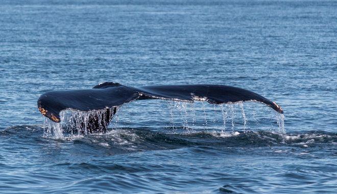 Μεγάλη Βρετανία: Το Ναυτικό βλάπτει την ακοή φαλαινών και δελφινιών