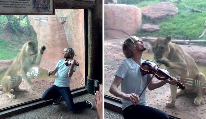 Ο λόγος που τα λιοντάρια δεν θα συμπαθήσουν ποτέ το βιολί