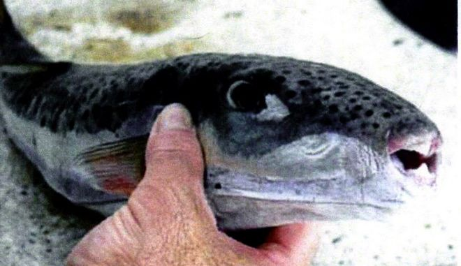 """Το επικίνδυνο ψάρι """"Λαγοκέφαλος"""""""